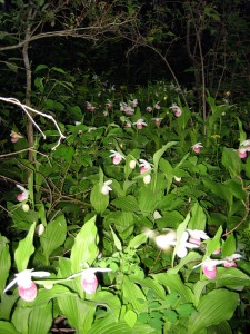 Manitoba Showy Lady Slippers