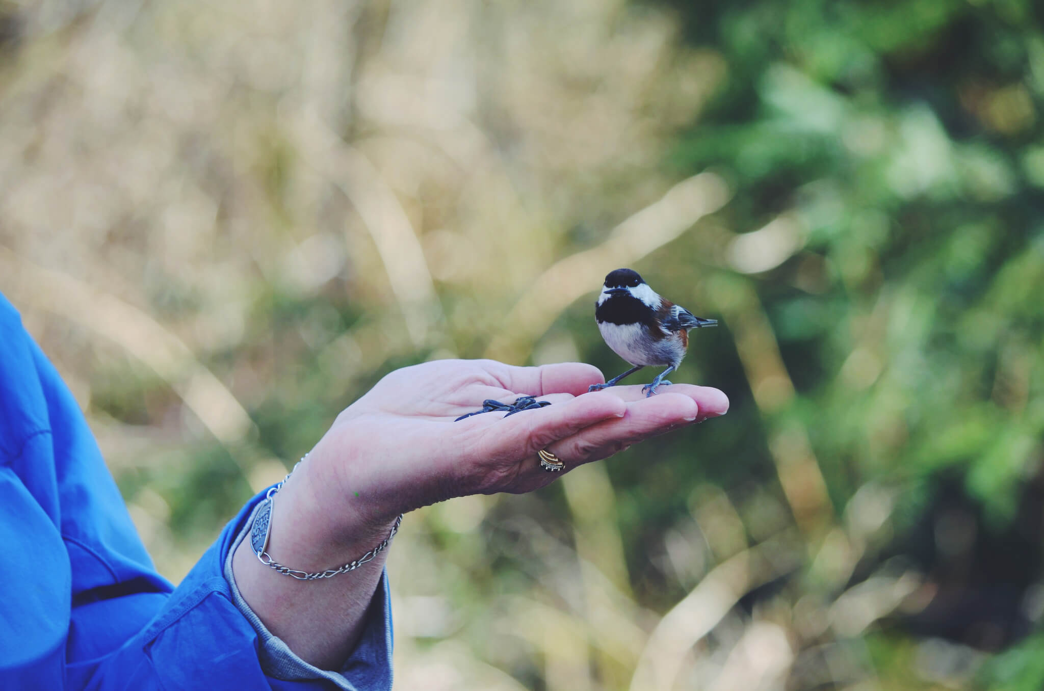 Feeding a Chickadee
