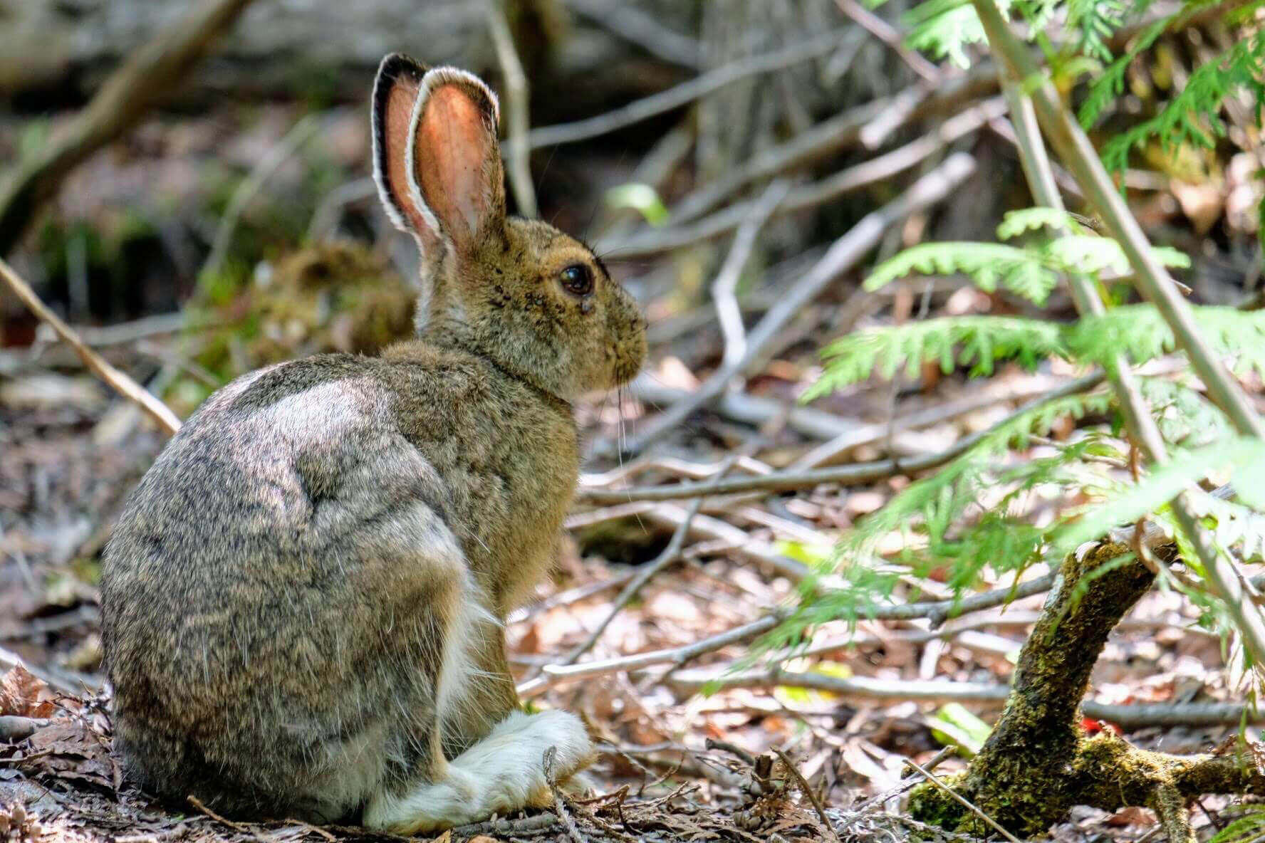Forest rabbit